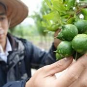 Hơn 11.000 tỷ đồng phát triển cây mắc ca