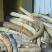 Phát hiện lô ngà voi lớn ở Hà Nội