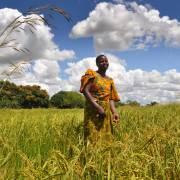 Châu Phi trồng lúa, gạo Việt giá rẻ hết thời?