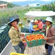 Bệnh xoăn lá bùng phát, giá cà chua tăng cao kỷ lục