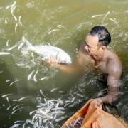 Cá chết bất thường ở Hồ Tây vì 'thiếu ôxy'?