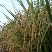 Trung Quốc mua trên 92% lượng gạo nếp xuất khẩu của VN