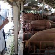 Tiền Giang: Giá heo thịt lại giảm mạnh