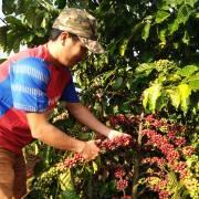 Kim ngạch xuất khẩu cà phê giảm 22,3%