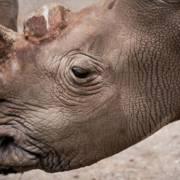Sừng tê giác, niềm tin vô bằng
