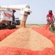Lào đặt mục tiêu xuất khẩu 400.000 tấn gạo trong năm 2017
