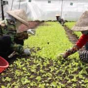 Cần cái đầu 'hữu cơ'  để trồng rau hữu cơ