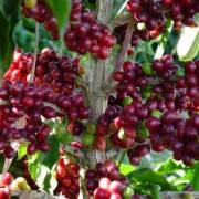 Cà phê sẽ tiếp tục được giá trong năm 2017