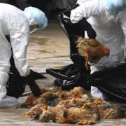 Tỉnh Giang Tây – Trung Quốc cấm kinh doanh gia cầm sống  vì H7N9