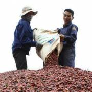 Brazil lần đầu tiên nhập cà phê Robusta của Việt Nam