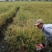 Mưa trái mùa làm thiệt hại lúa Đông Xuân tại Hậu Giang