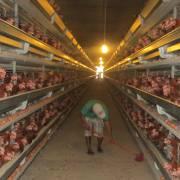 Giám sát an toàn thực phẩm đối với thịt gà chế biến xuất khẩu