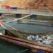 Xuất khẩu cá tra sang Trung Quốc tăng mạnh, mừng hay lo?
