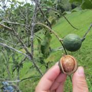 Khuyến cáo Tây Nguyên thận trọng mở rộng diện tích cây mắcca