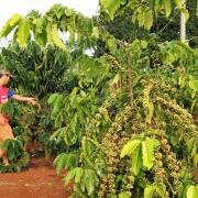 Tái canh cà phê, khi nông dân thờ ơ…