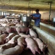 Lại cấp bách 'giải cứu' người chăn nuôi heo