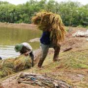 Cà Mau: Trên 100 ha lúa vụ 3 trước có nguy cơ mất trắng