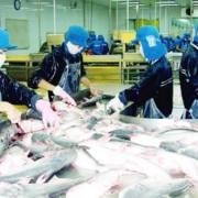 Cá tra sắp đối diện với khó khăn từ Farm Bill