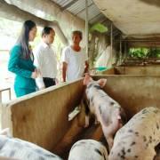 Ngân Hàng Kiên Long giảm 30% lãi suất cho hộ chăn nuôi heo