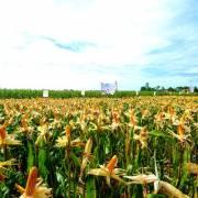 20 năm, diện tích cây trồng GMO toàn cầu tăng 110 lần
