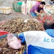 Phú Yên chưa tìm ra nguyên nhân tôm hùm chết hàng loạt