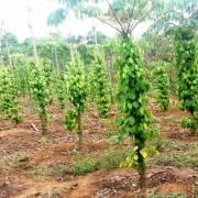 Xuất khẩu cà phê, hồ tiêu sang Ấn Độ giảm mạnh