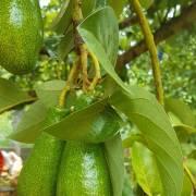 Trái cây quê vào mùa