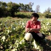 Quảng Ngãi: Được mùa dưa lưới đầu tiên với giá 10.000 đồng/kg