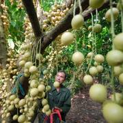 Là nước nông nghiệp nhưng mỗi năm VN phải tốn cả nửa tỷ USD nhập giống cây trồng, vật nuôi