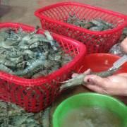 Bắt quả tang 2 cơ sở đang bơm tạp chất vào tôm nguyên liệu
