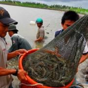 Phát triển những 'mỏ tôm' ven biển ĐBSCL