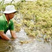 ĐBSCL dồn sức bảo vệ lúa hè thu