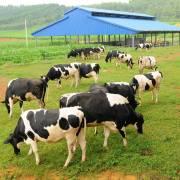 Vinamilk đầu tư 4.000 tỷ đồng làm trang trại nuôi bò sữa tại Cần Thơ