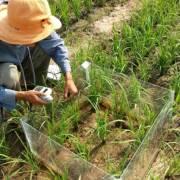 Campuchia: kỹ thuật đồng vị giúp tăng năng suất