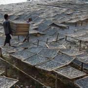 Nước mắm Phú Quốc bị đe dọa vì suy kiệt nguồn cá cơm