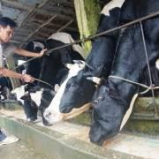 Làm nông kiểu khác: sống bằng sữa bò uy tín