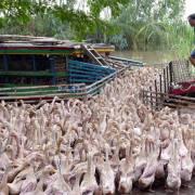 Bệnh 'nghiện' kháng sinh trong chăn nuôi