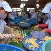 Xây dựng vùng nguyên liệu 1 triệu tấn điều tại Campuchia