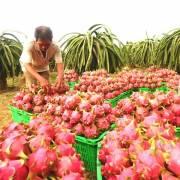 Bình Thuận: Giá thanh long trái vụ giảm mạnh, nông dân lỗ nặng