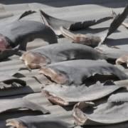 Bộ Công Thương yêu cầu báo cáo vụ phơi vây cá mập trên mái nhà