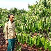 Nỗi buồn sản xuất cà phê VietGAP