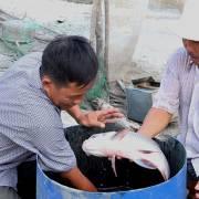 Nông dân miền Tây trúng đậm nhờ nuôi cá hô
