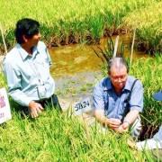 Trăm năm gạo ngon Sóc Trăng