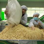 Nhiều 'vua xuất khẩu' của nông sản Việt lâm cảnh khó khăn