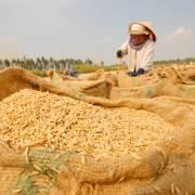 Trung Quốc tăng thuế nhập khẩu từ 5% lên 50%, gạo nếp VN gặp khó