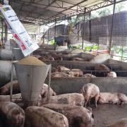 Tìm lối thoát cho chăn nuôi heo ở Đồng Nai