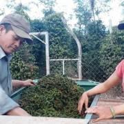 Nông dân Tây Nguyên lao đao khi giá hồ tiêu giảm thấp nhất trong hơn 10 năm