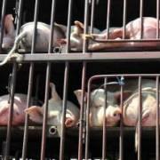 9 nước lân cận Trung Quốc họp khẩn đối phó dịch cúm lợn châu Phi