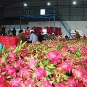Thanh long miền Nam bán đổ 1.000 đồng/kg, ở Hà Nội vẫn 20.000 đồng/kg