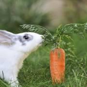 Sẽ không được nuôi thỏ bằng cà rốt, rau muống…?